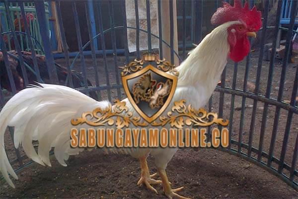 ayam birma, birma gostan, kelebihan, ciri khas