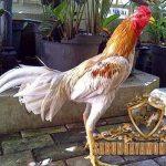 arti, warna bulu, jenis, ciri khas, ayam bangkok, ayam aduan