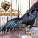 ayam petarung, ayam bangkok, bulu, hitam, ayam laga, ayam aduan