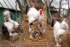 ayam brahma, unik, ayam hias