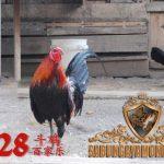 ayam filipina, ayam petarung, ciri khas, kelebihan