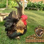 ayam kate, ayam taji, ayam petarung, ciri khas
