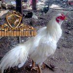 ayam kinantan, ayam bangkok, putih, ciri khas, kelebihan