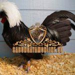 ayam polandia, ayam mahkota, ciri khas, ayam hias