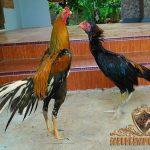 ayam bangkok, kaki panjang, kelebihan, ciri khas