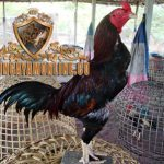 ayam birma asli, ayam pama, ayam petarung, ciri khas, kelebihan