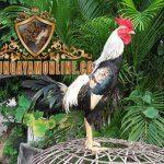 ayam pama gostan, ayam petarung, ciri khas, kelebihan, ayam birma