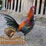 ayam peruvian, ayam petarung, peru, ciri khas, kelebihan