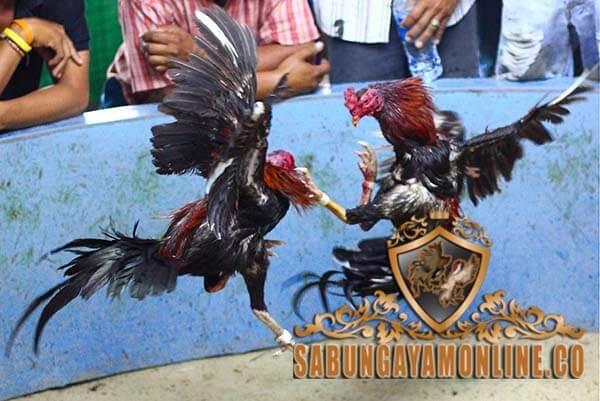 ayam petarung yang paling ditakuti, ayam aduan, ayam bangkok, ayam saigon, ayam birma, ayam shamo