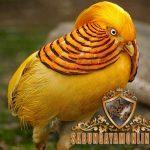 ayam yellow pheasant, unik, ayam hias, ayam pegar, ciri khas