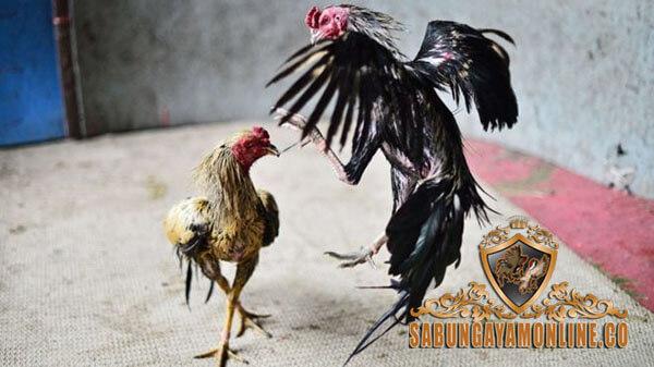 memilih ayam petarung, tipe pukulan, gaya bertarung, teknik, ciri khas, kelebihan