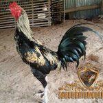 ayam birma, ayam petarung, teknik, ciri khas, kelebihan