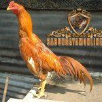 keunikan ayam bangkok, wangkas emas, ayam petarung, ayam aduan, kelebihan, keunggulan, ciri khas