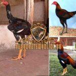 ayam aduan, ayam bangkok, ayam petarung, ayam laga, kaki panjang ayam, kelebihan, kekurangan