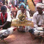 ayam aduan aseel, ciri khas, ayam aduan, ayam petarung, ayam bangkok, ayam asil