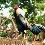 ciri khas, ayam bangkok mathai, ayam aduan, ayam petarung, kelebihan
