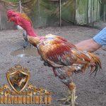 ciri khas ayam saigon, ayam aduan, ayam petarung, vietnam, ciri khas, kelebihan