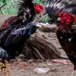 arti, katuranggan, caturangga, ciri khas, ayam aduan, ayam petarung, ayam bangkok