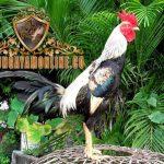katuranggan ayam bangkok, ayam aduan, ayam petarung, jenis, kelebihan, ciri khas
