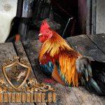 tips ala tarkam, trik, cara ampuh, memilih ayam aduan, ayam bangkok, ayam petarung, ayam aduan