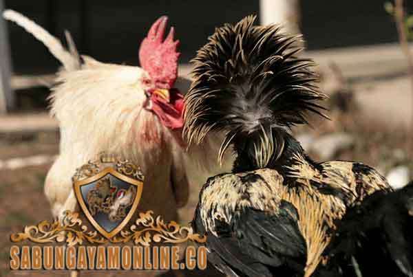 ayam aduan paling menakutkan, ayam aduan, mengerikan, menakutkan, ayam petarung, ayam bangko, ayam birma, ayam saigon, ayam shamo, ciri khas, kelebihan