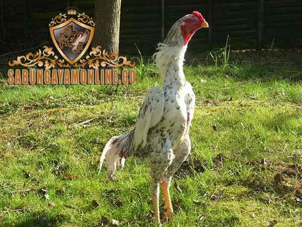 ciri khas, ayam petarung taiwan, ayam aduan, ayam shamo, ayam petarung, kelebihan
