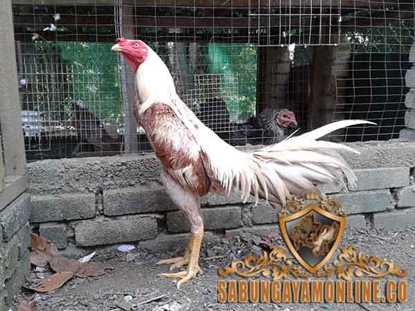 kelebihan, kekurangan ayam siam, ayam bangkok, ayam aduan, ayam petarung, ciri khas, jenis, ciri khas