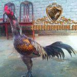kelebihan ayam panus, ayam aduan, ayam bangkok, ciri khas, kelebihan, ayam petarung