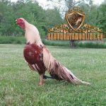 tips perawatan bulu ayam, ayam aduan, ayam bangkok, ayam petarung, ayam saigon, cara mudah, cara ampuh, suplemen ayam, vitamin ayam