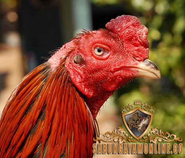 cara, tips, mengenal ayam bangkok asli, ayam aduan, ayam bangkok, mata, kaki, sisik, bulu, warna, postur