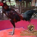 ayam aduan, ayam petarung, ayam bangkok, ayam saigon, ayam birma, kelebihan, ayam aduan paling tangguh
