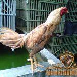 ayam aduan terbaik, ayam bangkok, ayam petarung, ayam aduan, ciri khas, kelebihan, ciri utama