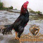 ayam bangkok kelas berat, ayam aduan, ayam petarung, ayam bangkok, ciri khas, ciri fisik, ciri utama, kelebihan