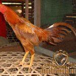 ayam bangkok wangkas emas, kelebihan, ayam bangkok, wangkas emas, ayam aduan, ayam petarung, ciri khas, katuranggan