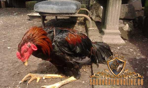 tips, cara cepat, cara ampuh, sembuhkan luka ayam, ayam aduan, ayam bangkok, ayam petarung