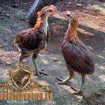ayam tukung hias, ciri khas, jenis, ayam hias, ayam aduan, ayam bangkok, ayam petarung