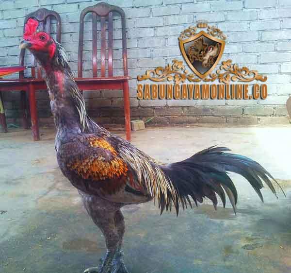 ciri, kelebihan, sejarah, asal usul, ayam panus thai, ayam bangkok, ayam aduan, ayam petarung