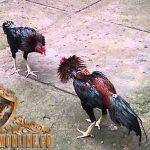 ciri khas, ayam bangkok f1, ayam petarung, ayam aduan, ayam bangkok, teknik, kelebihan