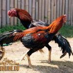 teknik bertarung ayam, ayam aduan, ayam petarung, ayam bangkok, kelebihan, jenis, ciri khas