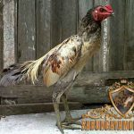 tips perawatan ayam, ayam birma, ayam bangkok, ayam aduan, ayam petarung, cara ampuh