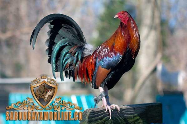 ayam aduan kelso, ayam aduan filipina, ayam petarung, ayam bangkok, sabong filipina, ayam taji, teknik bertarung, ciri khas, kelebihan, botoh tua, kelso