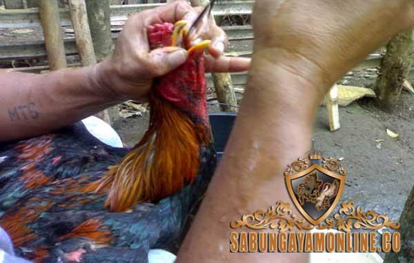 cara, tips, mengobati ngorok, ayam aduan, ayam petarung, ayam bangkok, botoh tua, jamu, campuran, ramuan, obat