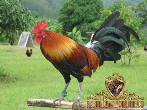 ayam aduan, ayam asil, ayam bangkok, ayam petarung, kaki pendek, kaki panjang, sabung taji, tipe pukul, tipe taji, jalu, katuranggan, ayam bangkok