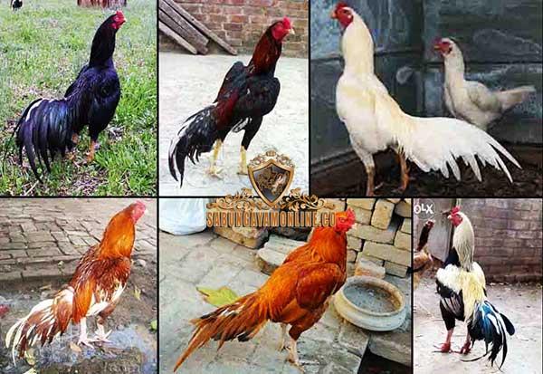 katuranggan, botoh tua, ayam aduan pukul mati, ayam petarung, ayam bangkok, ciri khas, kelebihan