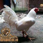 keunggulan, kelebihan, ayam bangkok kinantan, katuranggan, ciri khas, ayam aduan, ayam petarung, ayam putih