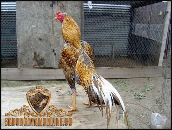 ciri khas, katuranggan, ayam bangkok jali blirik, ayam aduan, ayam petarung, ayam bangkok