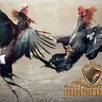 ayam ciparage, warisan nusantara, asli indonesia, ayam aduan, ayam bangkok, ayam petarung, ayam birma, ciri khas, kelebihan