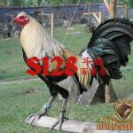 ayam petarung s128, tips, cara, kelebihan, ciri khas, ayam petarung, ayam filipina, ayam aduan, ayam bangkok