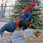 ayam brazil, brazilian gamefowl, ayam aduan, ayam petarung, ciri khas, kelebihan, katuranggan