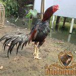 ciri khas ayam mathai, ayam aduan, ayam bangkok, ayam birma, ayam aduan, ayam petarung, ciri khas, kelebihan, teknik bertarung, ciri fisik